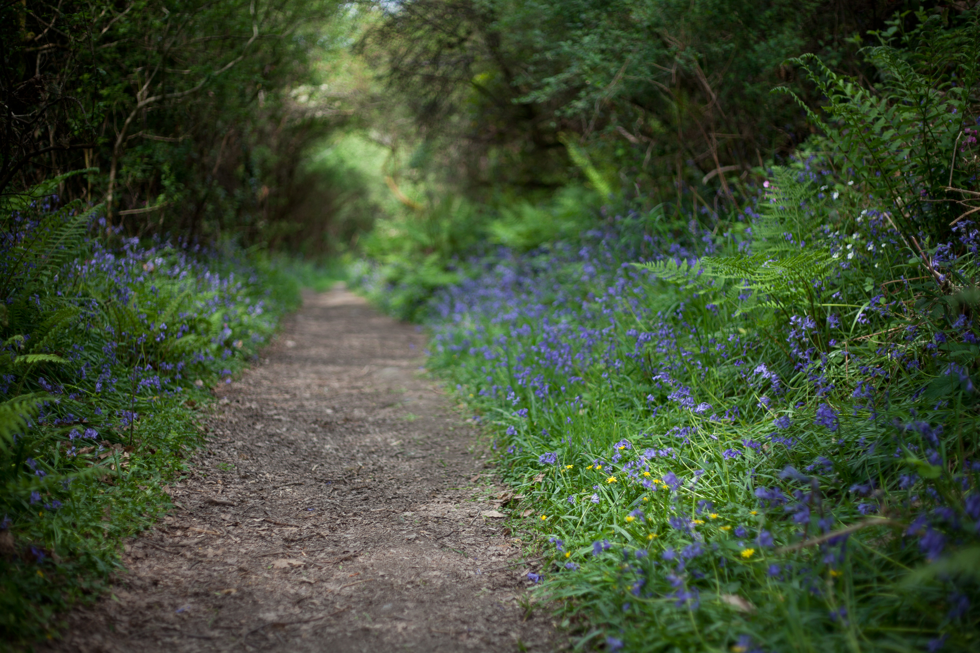 Bluebells lining a pathway through the woods. By Leonie Wise