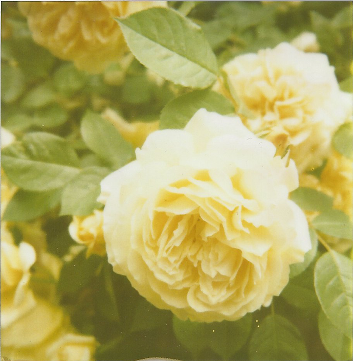 Chiswick, London. Rose print. Made with polaroid sx-70, 779 film
