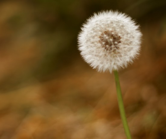 dandelion seed head. copyright leonie wise