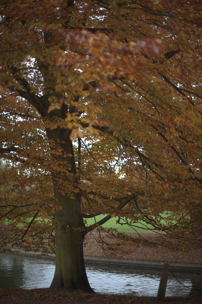 autumn tree at cambridge, england. copyright leonie wise