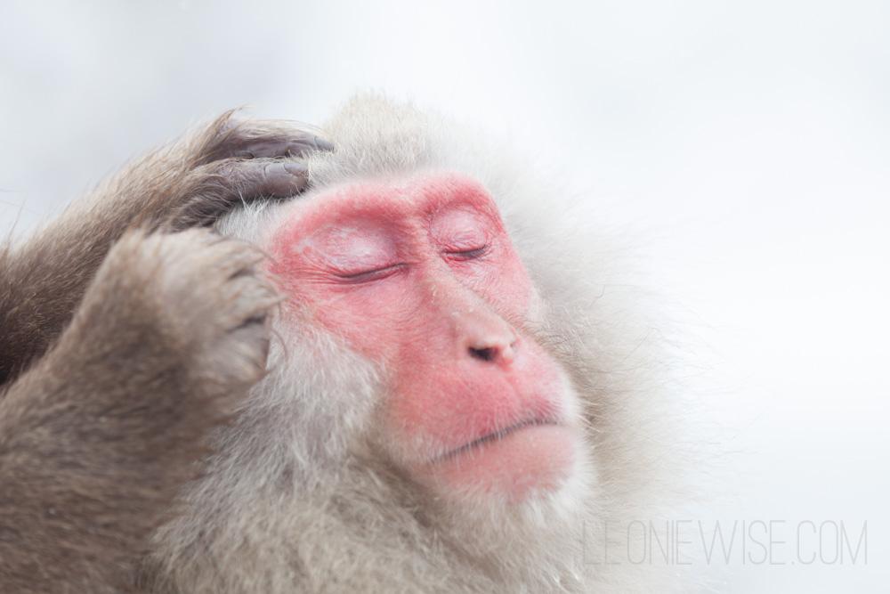 japanese macaque - grooming. Baby Japanese Macaque, Jigokudani Monkey Park, Yamanouchi, Nagano