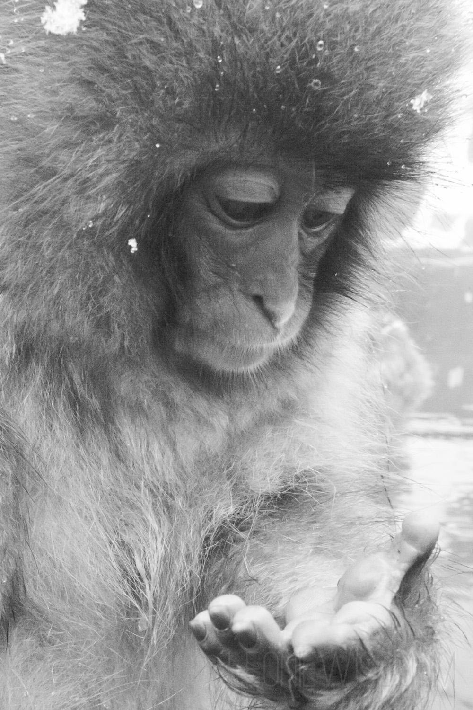 Baby Japanese Macaque, Jigokudani Monkey Park, Yamanouchi, Nagano