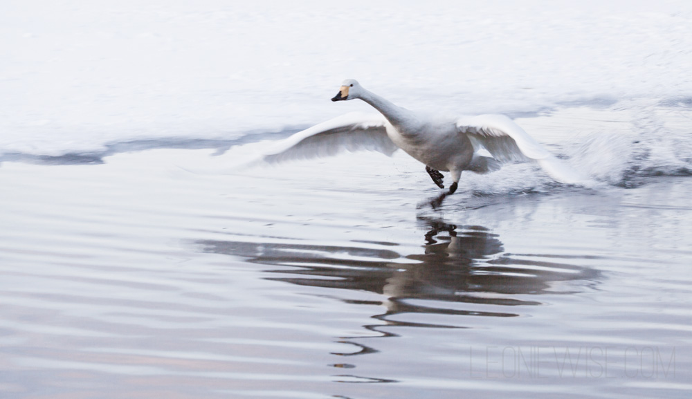 Whooper Swan - copyright Leonie Wise