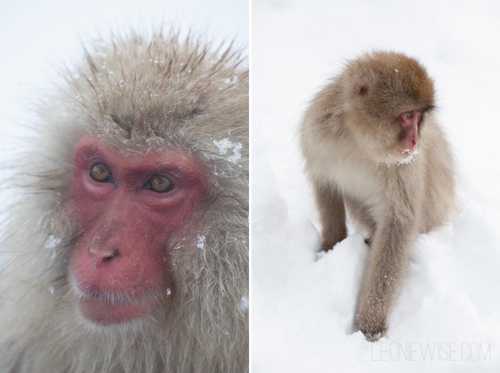 Japanese Macaque, Jigokudani Monkey Park, Yamanouchi, Nagano