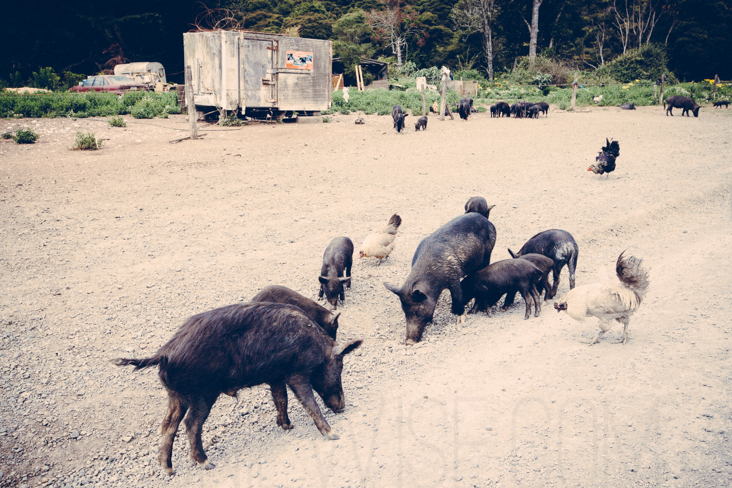 pigs & chickens on the 309 road, coromandel, new zealand