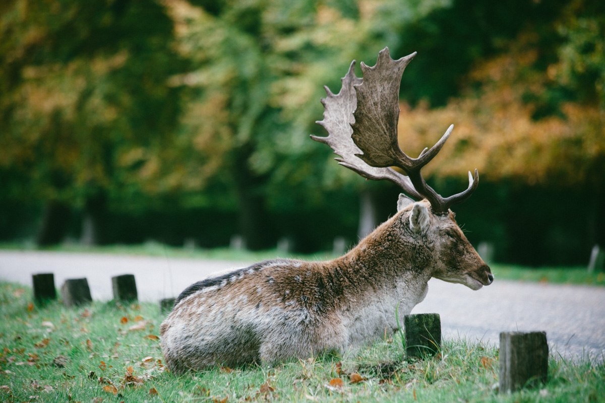deer, richmond park, london england