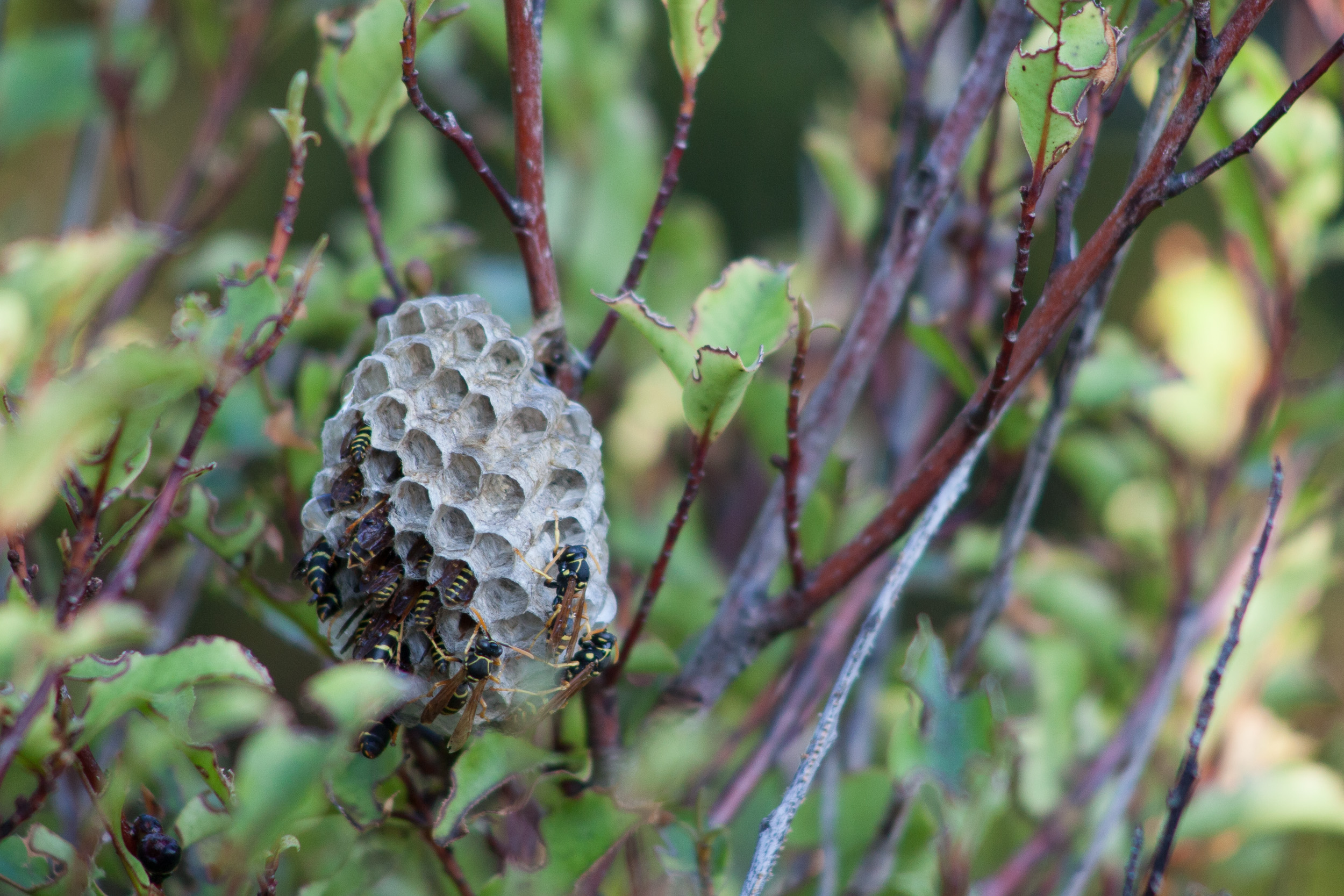 paper wasp nest by leonie wise