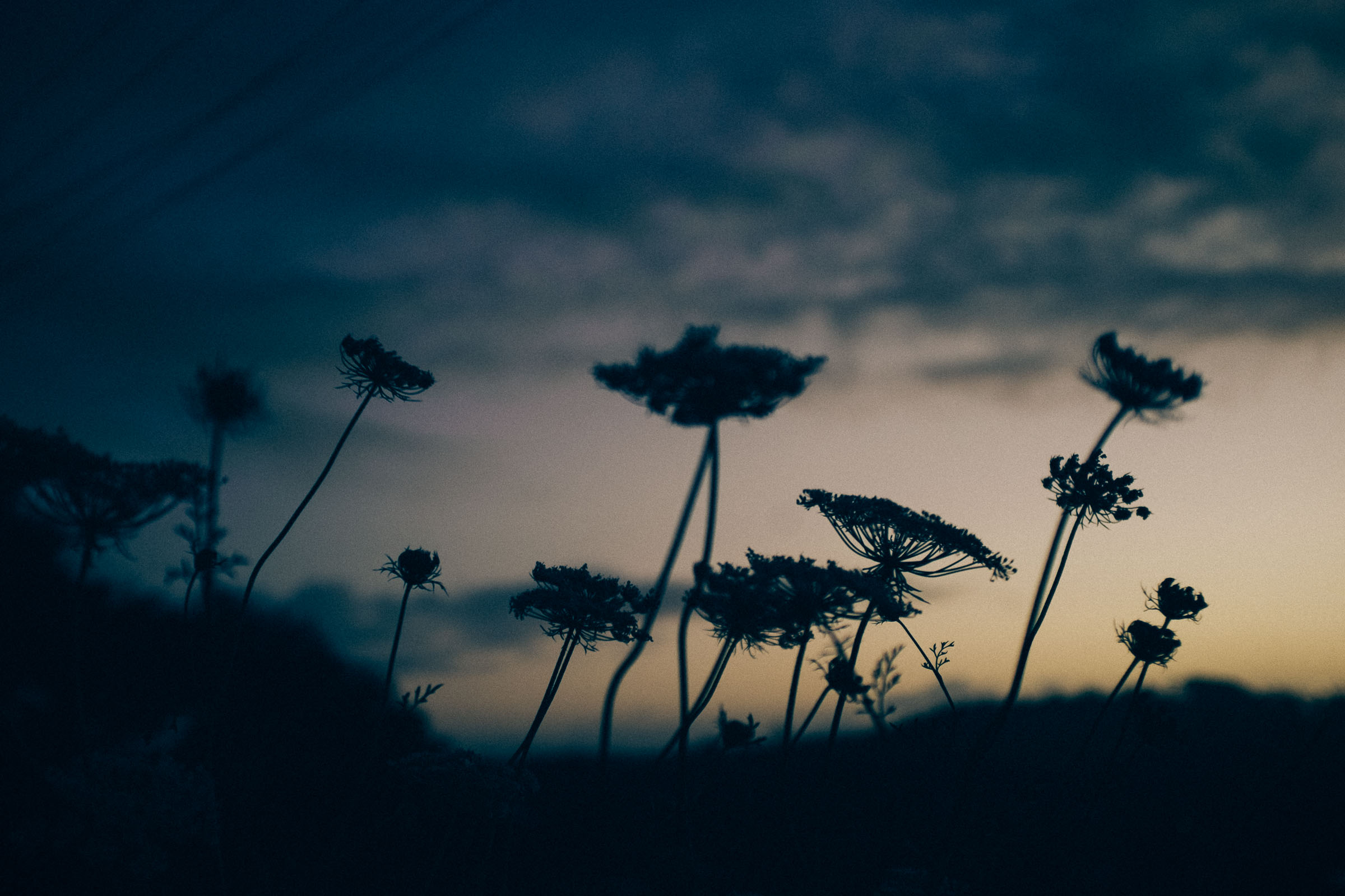morning light - queen anne's lace silhouettes. copyright leonie wise