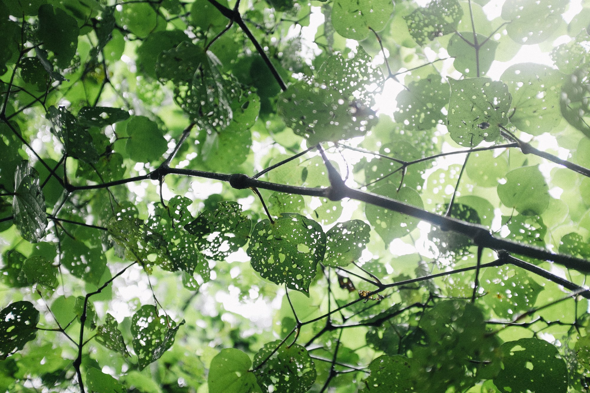 kawakawa tree leaves. by leonie wise