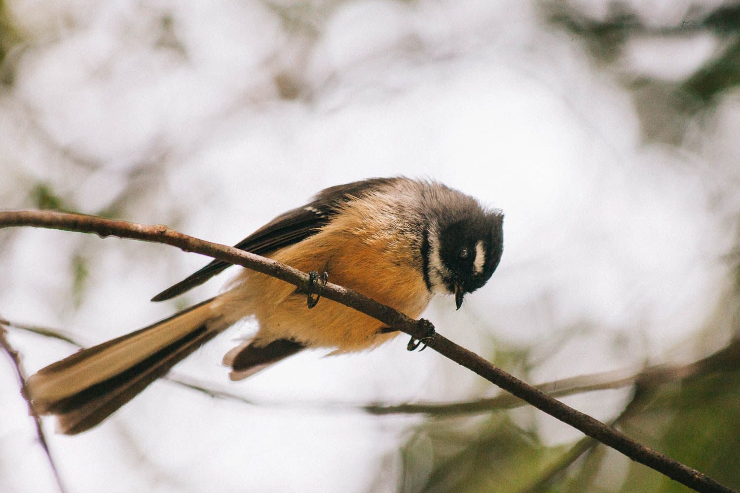 NZ fantail by Leonie Wise