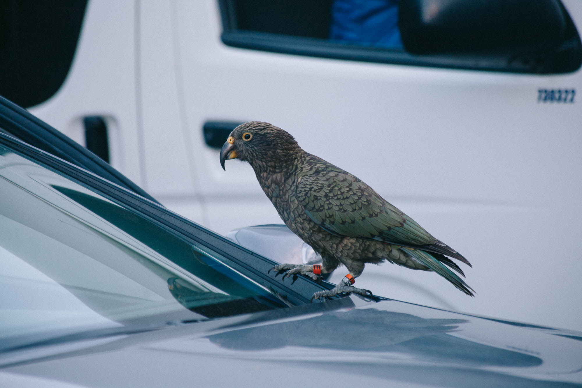 Kea on a car at Arthur's Pass New Zealand (c) Leonie Wise