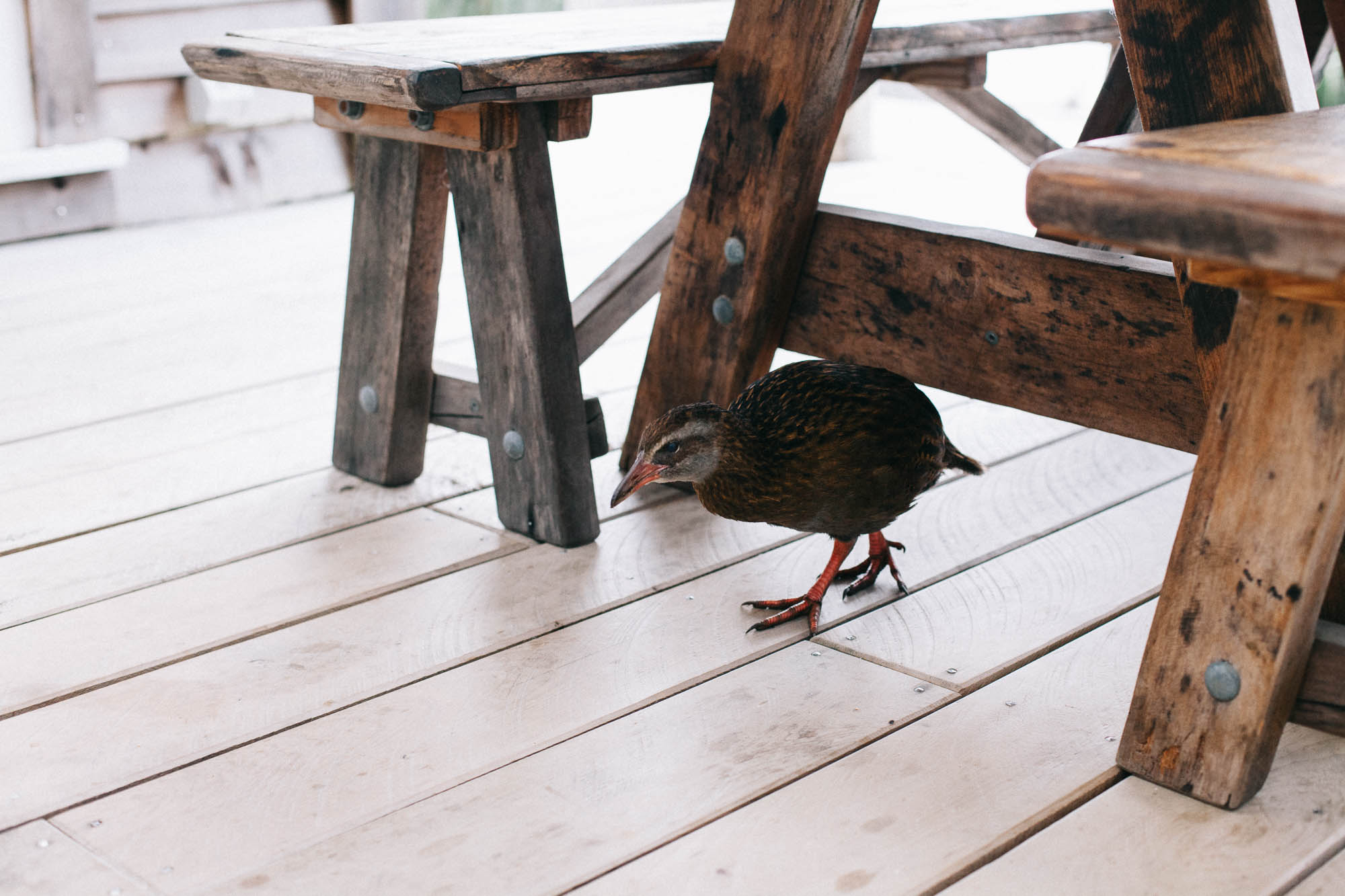 Weka at Woodpecker Hut (c) Leonie Wise