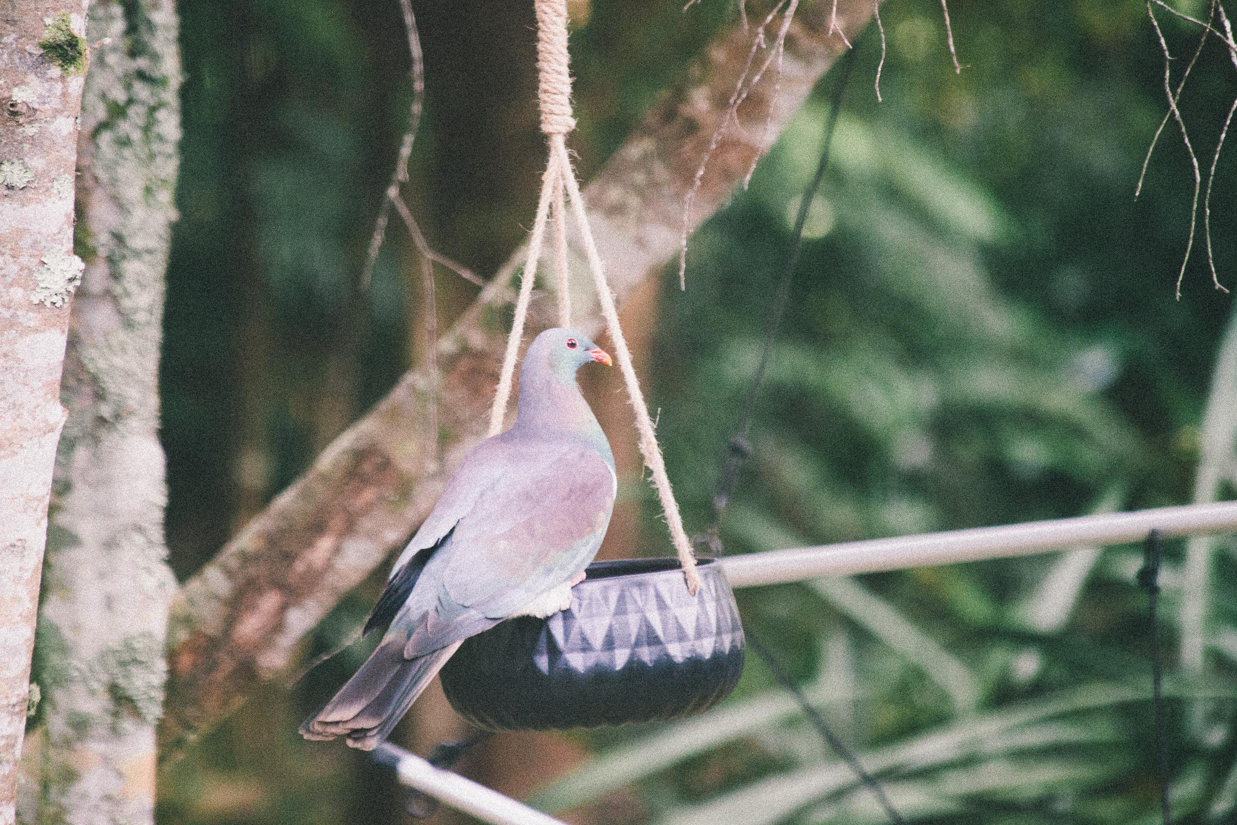 Kereru (NZ wood pigeon). (c) Leonie Wise